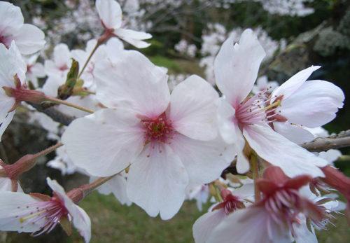 2018年お花見<br>2018年4月1日(日)